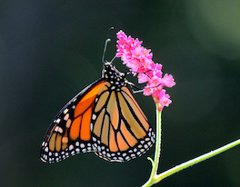 Monarch Butterfly Perched on Pink Flower